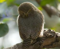 chevechette-de-jungle-ou-glaucidium-radiatum.jpg